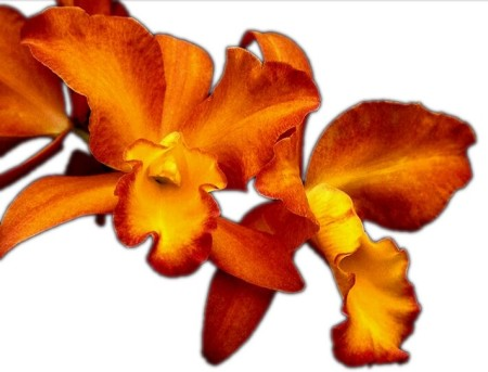 Fire Orchid the icon of a life of passion